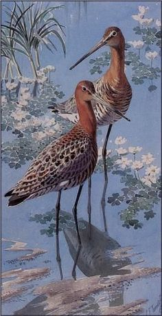 C F Tunnicliffe - Black Tailed Godwits