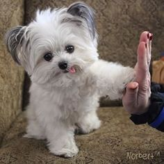 Norbert (norbertthedog) | Community Post: 16 Instagram Dogs That Should Have Their Own TV Shows