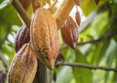 The cocoa tree with fruits. yellow and green cocoa pods grow on the tree Premium Photo Theobroma Cacao, Vector Photo, Growing Tree, Free Photos, Cocoa, Photo Editing, Photoshop, Stock Photos, Fruit