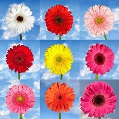 "Order Your Choice of Color Gerberas Flowers | Global Rose -- I think you should stay with you first choice of ""peach"".   I have found it everywhere, including dresses"