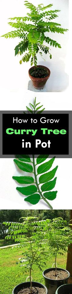 Learn how to grow curry tree or curry leaves plant. Growing curry plant is easy though you need to fulfill a few basic requirements.