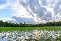 Ankor Wat rice field
