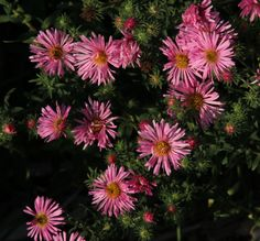 Full size picture of New England Aster, Hardy Aster, Michaelmas Daisy 'Honeysong Pink' (Symphyotrichum novae-angliae)