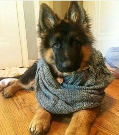 GSD baby :)