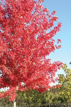 Enhance your landscape with an Autumn Blaze Maple Tree. Brimming with vibrant color, this regal beauty is truly a sight to behold in any season.