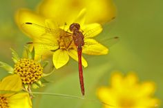 Yellow-legged Meadowhawk on Jerusalem artichoke flowers