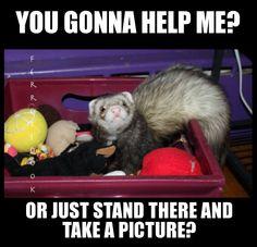 #ferrets #cute #animals YourEverydayFerretFerretsDook
