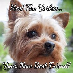 Meet the Yorkshire Terrier: Learn all about the Yorkie & find out what makes them the most popular breed of terrier!