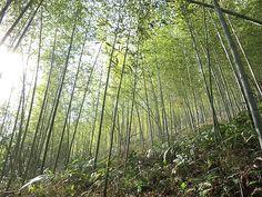 竹虎四代目がゆく!「竹林と竹藪の違い」 bamboogrove bambooforest 虎竹 tigerbamboo 虎斑竹専門店 竹虎
