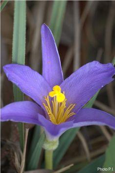 Flores e arbustos com flores azuis - canela d'ema