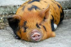 Kunekune pig. Lots of hair colors and textures, friendly, good natured ideal for first time pig owners. Small size.