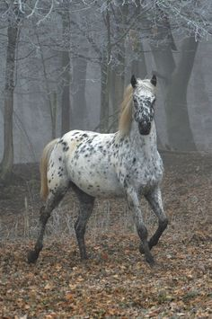 Leopard appaloosa horse - my silent passion - Horse