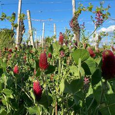 Weingarten. Blumenteppich. Schönheit. . KÖRBERS-Weingartengeschichten: Blumen im Weingarten. . . . #koerbersheuriger #heuriger #koerber #weingut #naturduenger #wiesenblumen  #blumenmeer #blumenteppich #wunderdernatur #naturschauspiel #nofilter #blauerhimmel #gruenesgras #bezirkmoedling #moedling #thermenregion #instawine #weinliebe #winzer #farmerslife #weinreben #wineyard #flowers #frühlingsblumen #mai #eigenproduktion #weinausösterreich #austrianwine #weingartengeschichten Mai, Fruit, Plants, Vineyard Vines, Floral Rug, Meadow Flowers, Plant, Planets