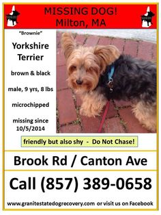 "Missing in Milton MA – ""Brownie"" is a male Yorkshire Terrier, brown & black, 9 years, 8 pounds, and microchipped. He is friendly but also shy – Do Not Chase! Missing since 10/5/2014 from Brook Road and Canton Avenue. Please share his flier. Call (857) 389-0658 if seen or found Like"