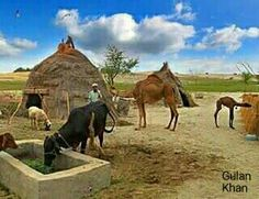 So wonderful view , beautiful chonrow(house) beautiful Camels Buffalo goat totally brilliant captured the Thar desert area Sindh Pakistan Pakistan Country, Desert Area, Beautiful Homes, House Beautiful, Camels, Country Life, Horses, Agriculture, Goat