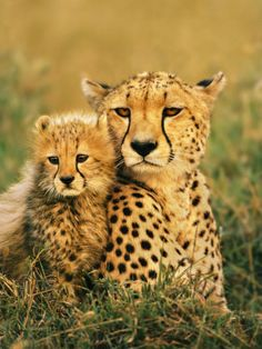 Cheetah and Cub, Masai Mara Reserve, Kenya Fotodruck von Frans Lanting bei AllPosters.de
