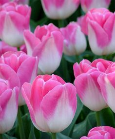 Tulip Innuendo - Triumph Tulips - Tulips - Flower Bulbs Index