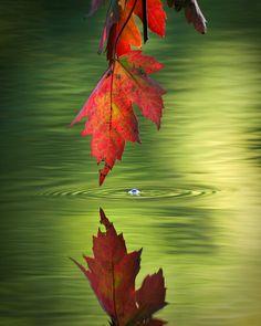 ~~Autumn Reflection by Josh Merrill ~ maple leaf hanging over Lake Marmo, Lisle, Illinois~~