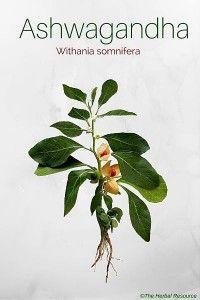 "Withania somnifera Whole body tonic, ""Rasayana"""
