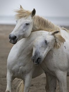 White horses of the Camargue, France having a cuddle.