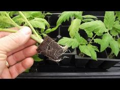 Tomato Pruning How to Root / Clone Tomato Suckers Using Growplugs root for tomato plants. Tomato Pruning, Tomato Seedlings, Tomato Plants, Growing Tomatoes From Seed, Growing Tomatoes In Containers, Grow Tomatoes, Cherry Tomatoes, Tomato Suckers, Determinate Tomatoes