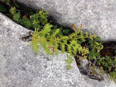 Maidenhair fern at the burren Maidenhair Fern, Ferns, Bloom, Plants, Plant, Planets