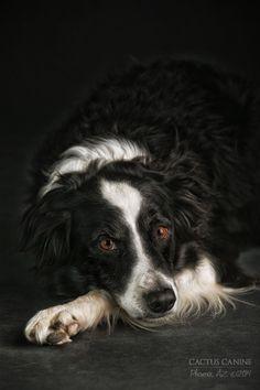 Border Collie named Mason...my heart dog! #petphotography #phoenix #BorderCollie