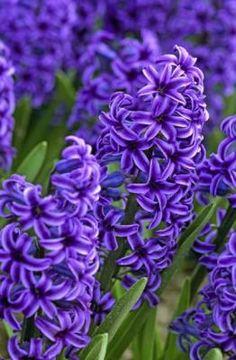 Hyacinths wowowow.com