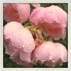 Rosey raindrops