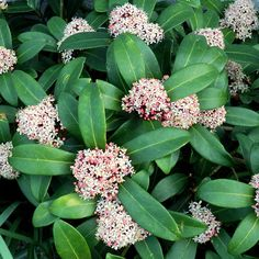 Visit our website to buy Viburnum tinus from Hedges Direct. Viburnum tinus makes a stunning informal, winter flowering, evergreen hedge for the garden. Flower Hedge, My Flower, Eve Price, Easiest Flowers To Grow, Evergreen Hedge, Winter Crops, Growing Seeds, Winter Garden, Hedges