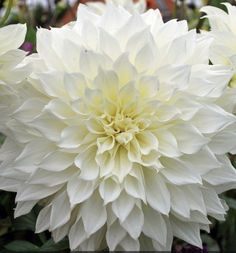 Dahlia 'Fleurel' - pack of 3 tubers - Rose Cottage Plants