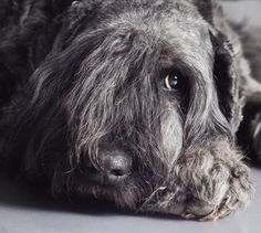 Bouvier des Flandres by Vanadine Pix on 500px