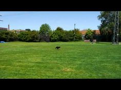 A Bullis Day 2 (A bullterriers day 2) - YouTube Golf Courses, Videos, Youtube, Doggies, Youtubers, Youtube Movies