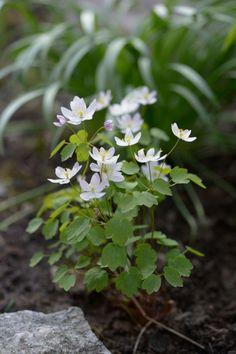 Vuokkoängelmä (Anemonella thalictroides) viihtyy puolivarjossa ja varjossa. Kuva Ritva Tuomi www.viherpiha.fi