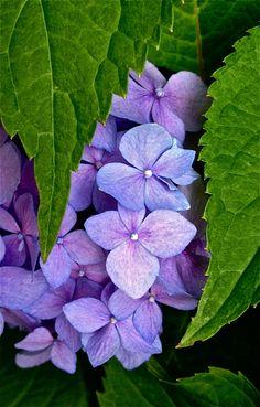 Hydrangea blossom in hiding Hydrangea Flower, My Flower, Hydrangeas, Purple Flowers, Beautiful Flowers, Purple Flower Photos, Violet Pastel, Plantation, Flower Wallpaper