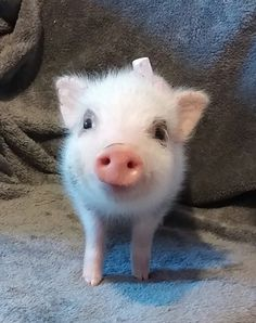 I don't need validation. I need my child to go to college.hopefully for free.and become a history teacher or whatever will make him happy and get married and give me grandchildren. Cute Baby Pigs, Cute Piglets, Cute Little Animals, Little Pigs, Happy Animals, Animals And Pets, Teacup Pigs, Mini Pigs, Pet Pigs