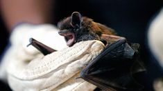 #Bats In The Bedroom Can Spread Rabies Without An Obvious Bite - NPR: NPR Bats In The Bedroom Can Spread Rabies Without An Obvious Bite NPR…