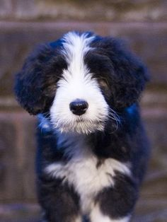 Bearded Collie puppy.  Looks alot like Oliver as a pup!