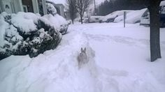"""Terri Kisamore of Harrisonburg, VA says """"my dog, Scruffy, is a Miniature Schnauzer and this is his first BIG SNOW!! He likes it (kind of) ;0)"""" #WHSVsnow"""