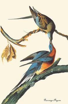John James Audubon, The birds of America. — John James Audubon, The Birds of America. Passenger Pigeon, Audubon Birds, Birds Of America, John James Audubon, Vintage Birds, Bird Prints, Painting Prints, Art Print, Botanical Illustration