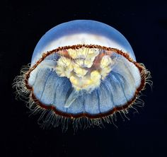 Russian marine biologist and underwater photographer Alexander Semenov remarkable image of jellyfish.