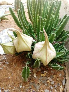 Capullos de Stapelia gigantea. The Stapelia produces a flower that attracts insects that smells like rotten meat.