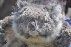 やる気のあるコアラ