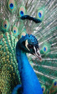 Le majestueux paon, aka the peacock Pretty Birds, Love Birds, Beautiful Birds, Animals Beautiful, Cute Animals, Peacock Art, Peacock Feathers, Peacock Blue, Peacock Colors