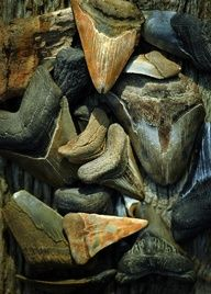 More Megalodon Teeth, Photograph of fossil shark teeth found by the Chesapeake Bay. Rebecca Sherman. #chesapeakebay #paleontology