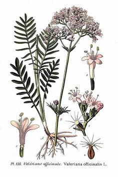Usos en el huerto de preparados con plantas medicinales (II)   ECOagricultor