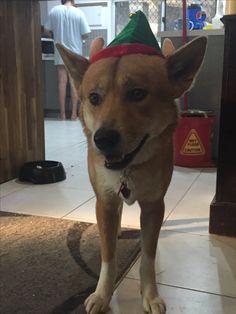 A dingo wishing you a merry Christmas