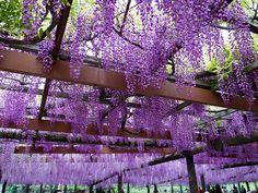 藤棚  wisteria trellis