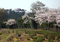 桜の咲く甘樫丘
