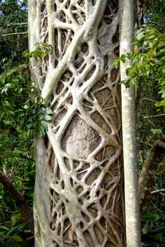 A tree with a strangler fig growing on the surface creates an amazing pattern. Image taken near Mackay Qld. Aust.    u2764ufe0f